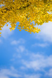 Yellow ginkgo autumn leaves blue sky Royalty Free Stock Images