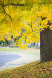 Yellow ginkgo autumn leaves tree in the park Royalty Free Stock Photos