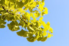 Yellow ginkgo biloba branch with foliage against the blue sky, beautiful autumn background stock photo