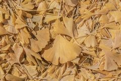Yellow ginkgo biloba or maidenhair tree leaves on the ground in the autumnl - background royalty free stock images
