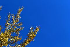 Yellow ginkgo biloba tree leaves on branches in autumn against blue sky stock image