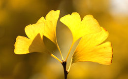 Yellow ginkgo leaf in autumn Stock Photo