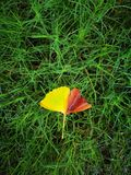 Yellow ginkgo leaf lying on the water floor Royalty Free Stock Photography