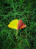 Yellow ginkgo leaf lying on the water floor Royalty Free Stock Images