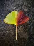 Yellow ginkgo leaf lying on the water floor Royalty Free Stock Photos