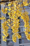 Yellow Ginkgo Leaf. Twig with leaves of Ginkgo Biloba in shunshine in early Winter. Southern China Royalty Free Stock Images