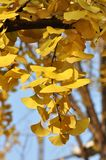 Yellow Ginkgo Leaf. Twig with leaves of Ginkgo Biloba in shunshine in early Winter. Southern China Stock Images