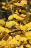 Yellow Ginkgo Leaf. Twig with leaves of Ginkgo Biloba in shunshine in early Winter. Southern China Royalty Free Stock Photos
