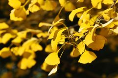 Yellow Ginkgo Leaf. Twig with leaves of Ginkgo Biloba in shunshine in early Winter. Southern China Stock Image