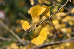 Yellow Ginkgo Leaf. Twig with leaves of Ginkgo Biloba in shunshine in early Winter. Southern China Stock Photo