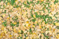 Yellow ginkgo leave and green weed on ground Stock Image