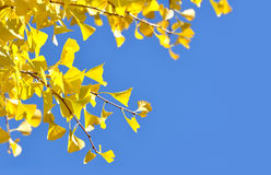 Yellow ginkgo leaves. In autumn and a bright blue sky royalty free stock photo