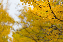 Yellow ginkgo leaves in autumn Stock Images