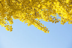 Yellow ginkgo leaves in autumn. Yellow leaves of ginkgo trees in autumn Royalty Free Stock Image