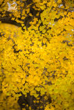 Yellow ginkgo leaves background Royalty Free Stock Images