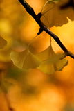 Yellow ginkgo leaves Stock Photo