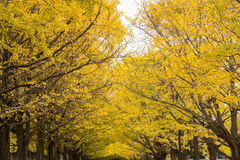 Yellow ginkgo leaves branches in autumn Stock Photo