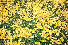Meiji Jingu Gaien. Yellow Ginkgo leaves fall on the grass floor at Meiji Jingu Gaien Park ,Tokyo royalty free stock photo
