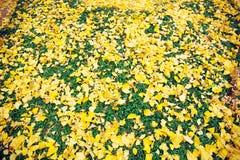 Meiji Jingu Gaien. Yellow Ginkgo leaves fall on the grass floor at Meiji Jingu Gaien Park ,Tokyo stock photo