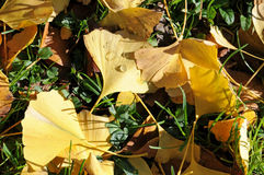 Yellow ginkgo leaves Stock Photography
