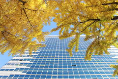 Yellow ginkgo leaves in front of the building. Yellow tree in autumn, Korea Stock Images