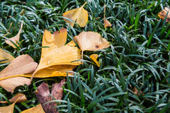 Yellow Ginkgo leaves on green grasses. 1 Stock Photos