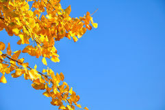 Yellow ginkgo leaves Stock Photos