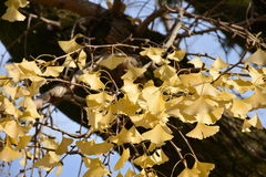 Yellow Ginkgo leaves on maple tree. Under blue sky Royalty Free Stock Images