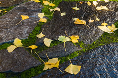Yellow ginkgo leaves on wet stones Stock Photography