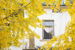 Yellow ginkgo outside the house Stock Photo