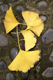 Yellow ginkgo tree leaves on the ground Stock Photos