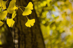 Yellow Ginko Biloba leaves Royalty Free Stock Photos