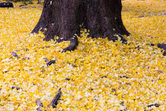 Yellow Ginko biloba leaves fallen on ground Royalty Free Stock Image
