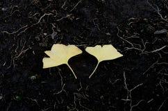 Yellow ginko leaf on soil floor Stock Photos