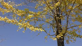 Yellow ginko leaves stock video footage