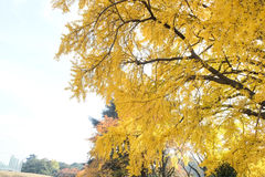 Yellow ginko leaves Stock Photos