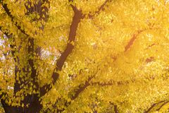 Yellow ginko leaves on tree during autumn season royalty free stock image