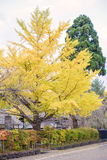 Yellow Ginko tree Stock Image