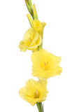 Yellow gladioli flowers Stock Images