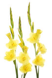 Yellow gladioli flowers Stock Photography