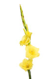 Yellow gladioli flowers Stock Photo