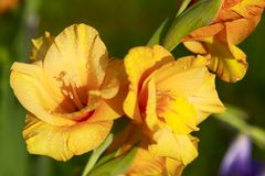 Yellow gladiolus. In the garden royalty free stock photos