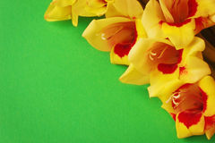 Yellow gladiolus Royalty Free Stock Photography