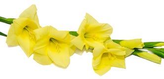 Yellow Gladiolus flower, isolated Royalty Free Stock Photo