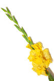 Yellow gladiolus flower Stock Photography