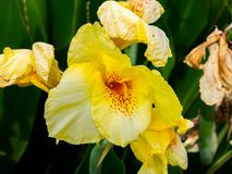 Yellow Gladiolus flowers in a garden royalty free stock photography