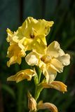 Yellow gladiolus Royalty Free Stock Photo