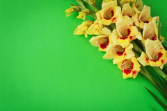 Yellow gladiolus Royalty Free Stock Photo