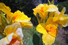 Yellow gladiolus Stock Image