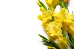 Yellow gladiolus on a white background on the right. Yellow gladiolus on the right on a white background, with space left for text Royalty Free Stock Photos